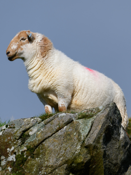 a picture of a sheep